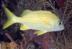 French Grunt. Haemulon flavolineatum, picture taken in south east Florda Stock Images