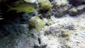 French grunt. A beautiful French grunt swimming in the Caribbean stock video footage