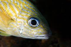 Free French Grunt Fish Stock Photos - 163054613