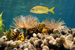French grunt fish above feather duster worms Stock Image