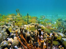 French grunt fish with coral Stock Photo