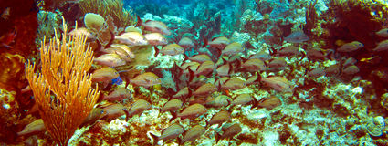 French Grunts on a Cayman Island Reef Panorama. French Grunts swimming on a Cayman Island Reef Panorama Royalty Free Stock Photo