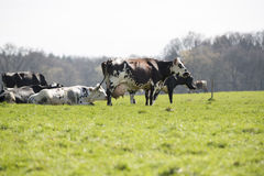 French holstein Cow Royalty Free Stock Image