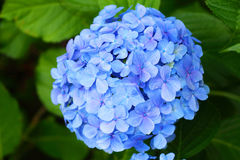 French hydrangea Stock Photo