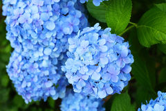 French hydrangea Royalty Free Stock Image