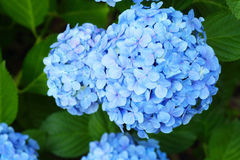 French hydrangea Stock Photography