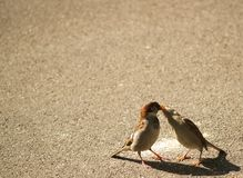French kissing sparrows. A father sparrow feeding his daughter Royalty Free Stock Photography