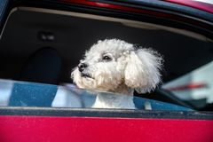 French lapdog peeps out the car Stock Images