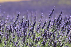 French lavander stock image