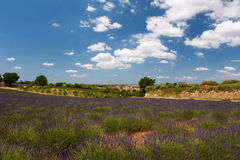 French Lavender Stock Photography