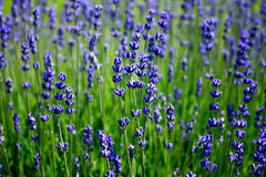 French lavender Stock Images