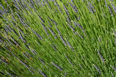 French lavender Royalty Free Stock Photos