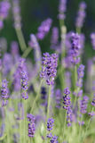 French lavender. In the garden Stock Photo