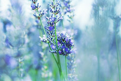 French Lavender Royalty Free Stock Images
