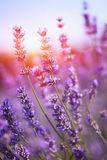 French lavender Royalty Free Stock Photo