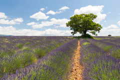 French Lavender fields Royalty Free Stock Image