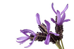 French Lavender Isolated Stock Image