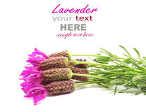 French lavender Royalty Free Stock Photography