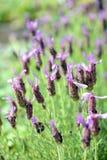 French Lavender (Lavandula stoechas) Stock Photos