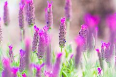 French lavender. Lavandula stoechas, the Spanish lavender or topped lavender or French lavender is a species of flowering plant in the family Lamiaceae. An royalty free stock images
