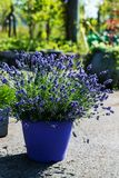 French lavender plant. In a blue pot royalty free stock image