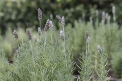 French lavender plant with flowers. French lavender plant with silver green leaves and pale purple flowers from side stock image