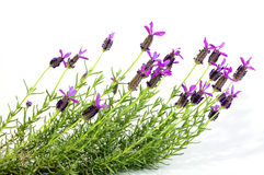 French Lavender Plant with Vivid Purple Flowers. Studio shot of french lavender plant with vivid purple flowers on white background stock photos
