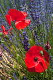 French Lavender and Poppies Royalty Free Stock Photos