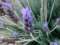 French lavender, Spanish lavender, Lavandula stoechas Stock Photos