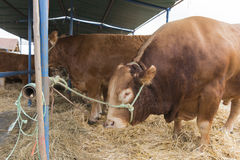 French Limousin bulls Stock Image