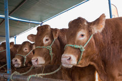 French Limousin bulls Royalty Free Stock Photography