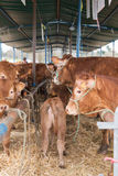 French Limousin bulls Royalty Free Stock Photos