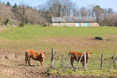 French Limousin cows Stock Image