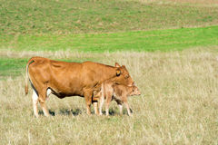 French Limousine cows Stock Image
