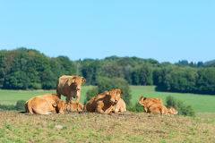 French Limousine cows Royalty Free Stock Photo