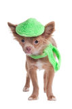French looking chihuhua with cap and scarf Royalty Free Stock Photos