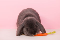 French lop eating carrot Royalty Free Stock Photos