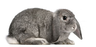 French Lop rabbit, 2 months old, Oryctolagus Royalty Free Stock Photos