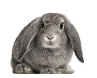 French Lop rabbit, 2 months old, Oryctolagus Stock Photo