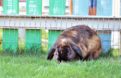 French Lop rabbit on animal farm Royalty Free Stock Image