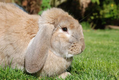 French Lop Rabbit Stock Images