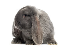 French lop rabbit, isolated. On white Royalty Free Stock Image
