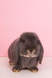 French lop Stock Images