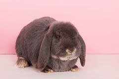 French lop. Rabbit French lop on pink background Royalty Free Stock Images