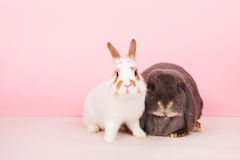 French lop and white rabbit Royalty Free Stock Photography