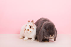 French lop and white rabbit Royalty Free Stock Photo