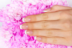 French manicure. Beautiful woman's hand with perfect french manicure on rose chrysanthemum flower stock image