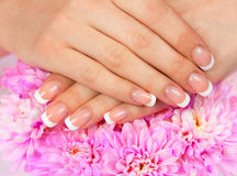 French manicure. Beautiful woman's hands with perfect french manicure on rose chrysanthemum flower royalty free stock photography