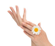 French manicured hands with fresh camomile daisy flower Royalty Free Stock Photos