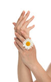 French manicured hands with fresh camomile daisy flower Royalty Free Stock Photography